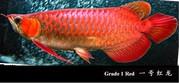 Cheap super red and chilli red arowana fish